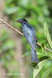Cuckoo, Asian Drongo