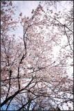 Branch brook park cherry blossom 2017
