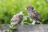 Little-owls