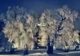 Sugar Trees