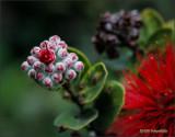 'Ohia Lehua: Bud to Bloom 03