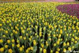 Tulips P9210306