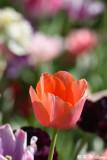 Tulip DSC_5125