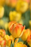 Tulip DSC_5821