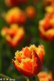 Tulip DSC_5829