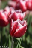 Tulip DSC_5920