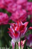 Tulip DSC_5917