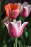 Tulip DSC_5123