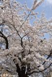 Sakura DSC_6222