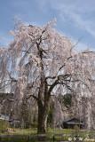 Sakura DSC_6342