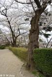 Sakura @ Senshu Park DSC_6382