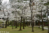 Sakura @ Senshu Park DSC_6402