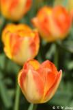Tulip DSC_5832