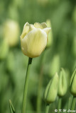 Tulip DSC_5838