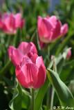 Tulip DSC_5801