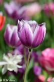 Tulip DSC_5134
