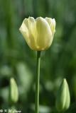 Tulip DSC_5836