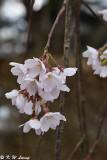 Sakura DSC_6363