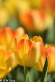Tulip DSC_5823