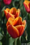 Tulip DSC_5926