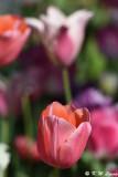Tulip DSC_5130