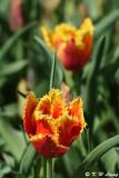 Tulip DSC_5844