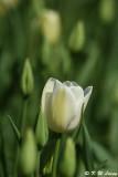 Tulip DSC_5837