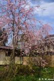 Sakura DSC_6233