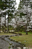 Sakura @ Senshu Park DSC_6404
