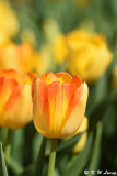Tulip DSC_5830