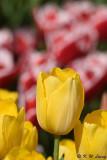 Tulip DSC_5910