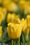 Tulip DSC_5828