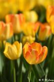 Tulip DSC_5826