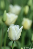 Tulip DSC_5839