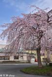 Sakura DSC_6213