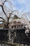 Sakura DSC_6287