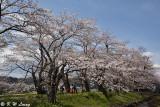 Hinokinaigawa River's Bank DSC_6343