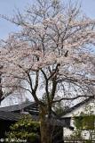 Sakura DSC_6259