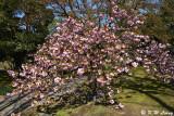 Sakura DSC_5900