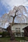 Sakura DSC_6208
