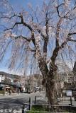 Sakura DSC_6360