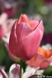 Tulip DSC_5126