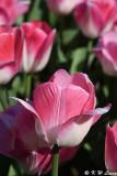 Tulip DSC_5925