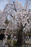 Sakura DSC_6282