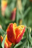 Tulip DSC_5833