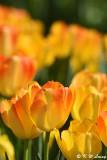 Tulip DSC_5825