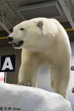 Polar bear @ Yellowknife Aorport DSC_1753