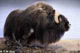 Muskox @ Prince of Wales Northern Heritage Centre DSC_1773