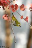 Japanese White-eye DSC_9481