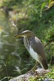 Chinese Pond Heron DSC_5222